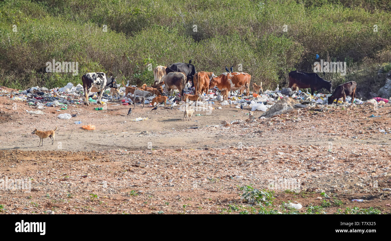 a garbage dump with some cattle and dogs seen in Sri Lanka - Stock Image