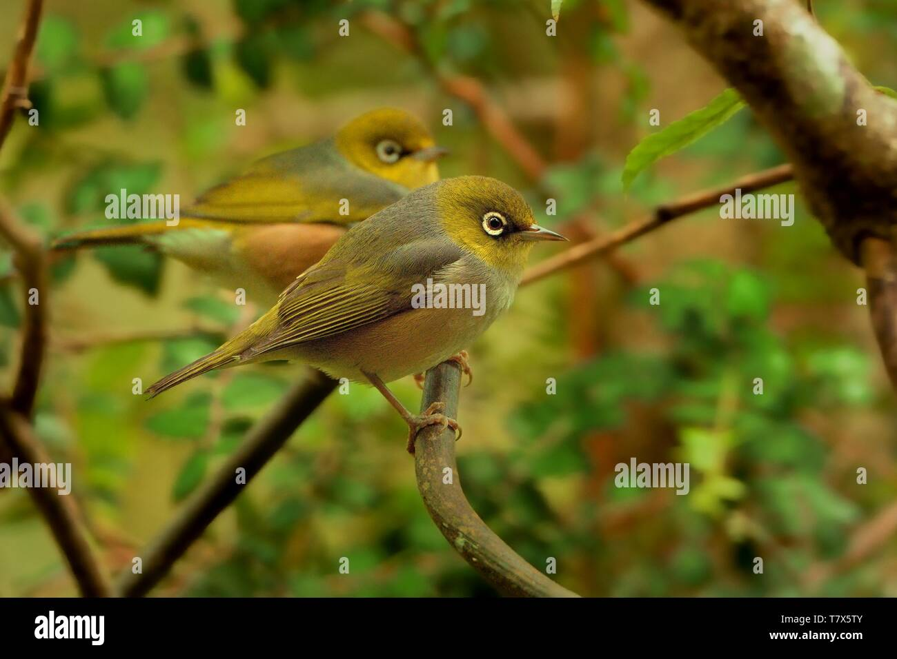 Zosterops lateralis - Silvereye - tauhou in the primeval forest in New Zealand - Stock Image
