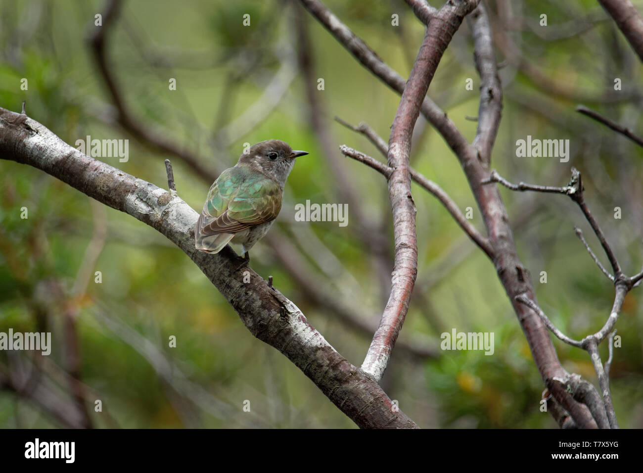 Shining Bronze Cuckoo - Chrysococcyx lucidus - species in the family Cuculidae, Australia, Indonesia, New Caledonia, New Zealand, Papua New Guinea, So - Stock Image