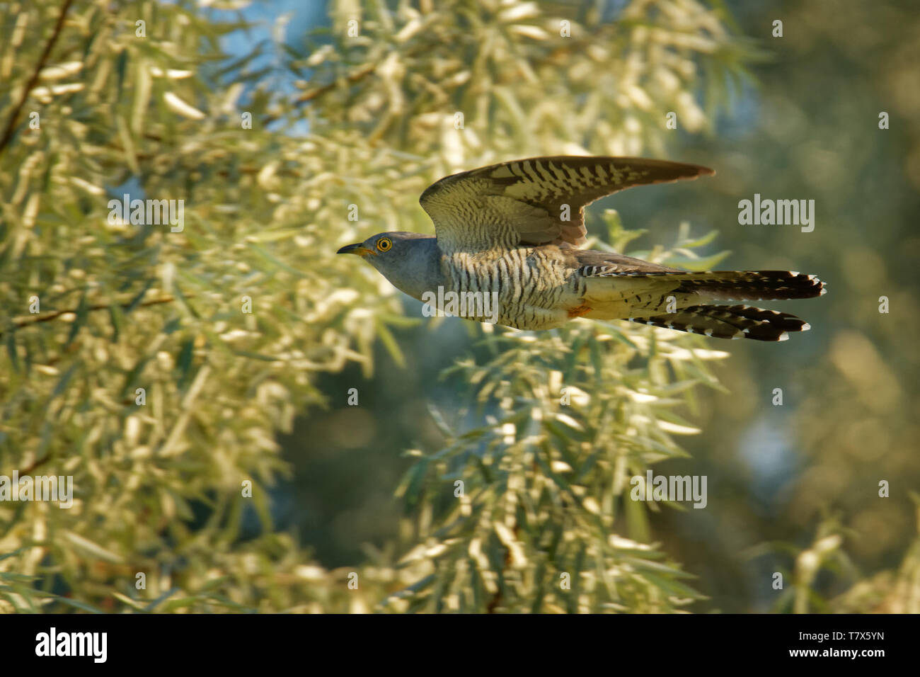 Cuculus canorus - Common Cuckoo in the fly, widespread summer migrant to Europe and Asia, and winters in Africa, brood parasite. - Stock Image