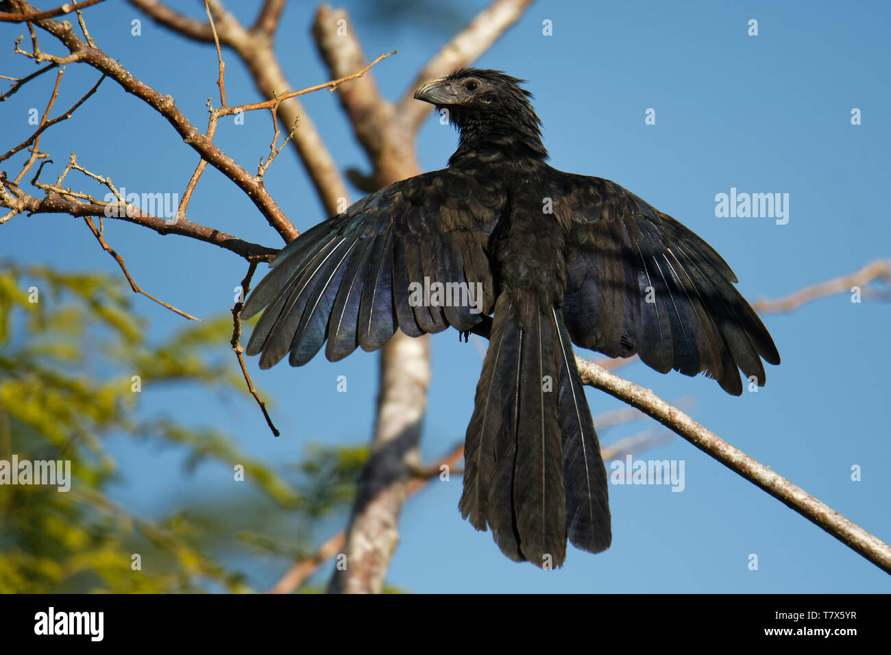 Groove-billed Ani - Crotophaga sulcirostris tropical bird in the cuckoo family, long tail and a large, curved beak. Resident species from Texas, Mexic - Stock Image