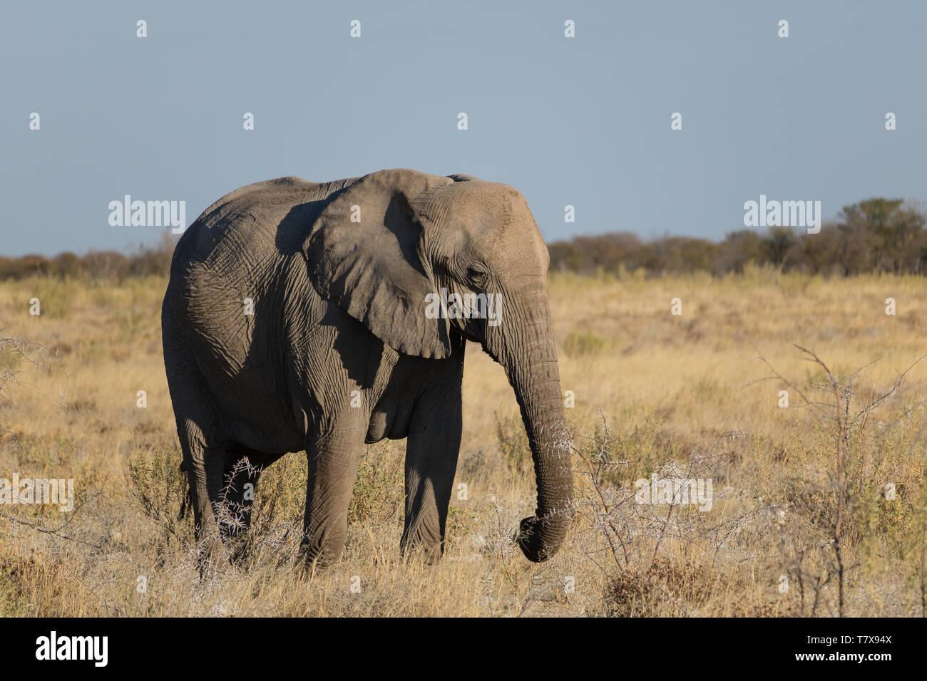Elephants in Etosha National Park, Namibia Stock Photo