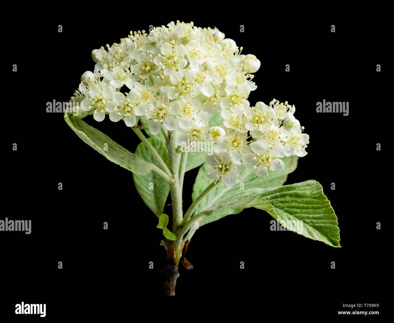 Silvery spring foliage and creamy flowers of the hardy whitebeam tree, Sorbus aria 'Lutescens', on a black background - Stock Image