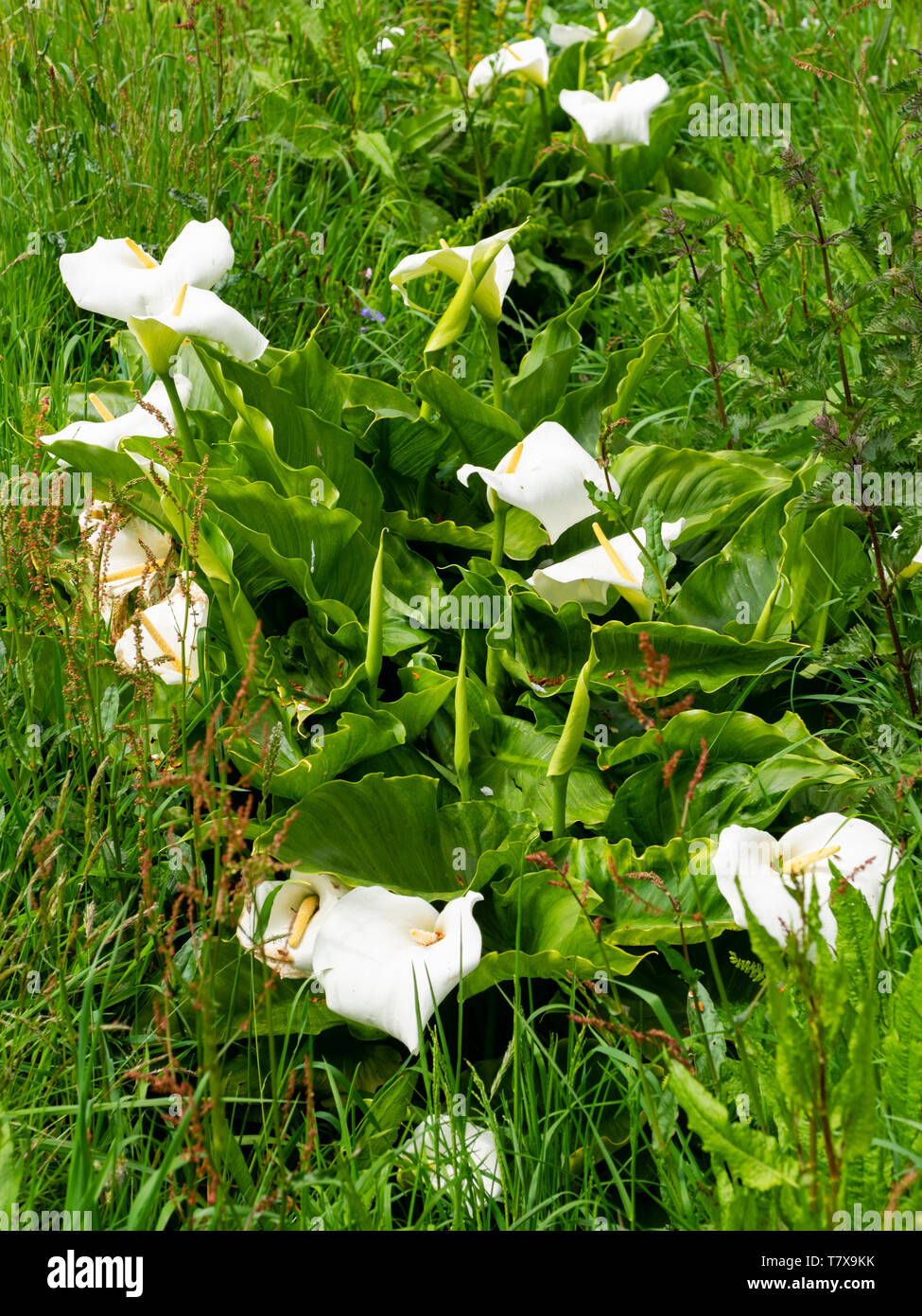 White spathes and yellow spadices of the South African Calla lily, Zantedeschia aethiopica, naturalised in a UK ditch Stock Photo