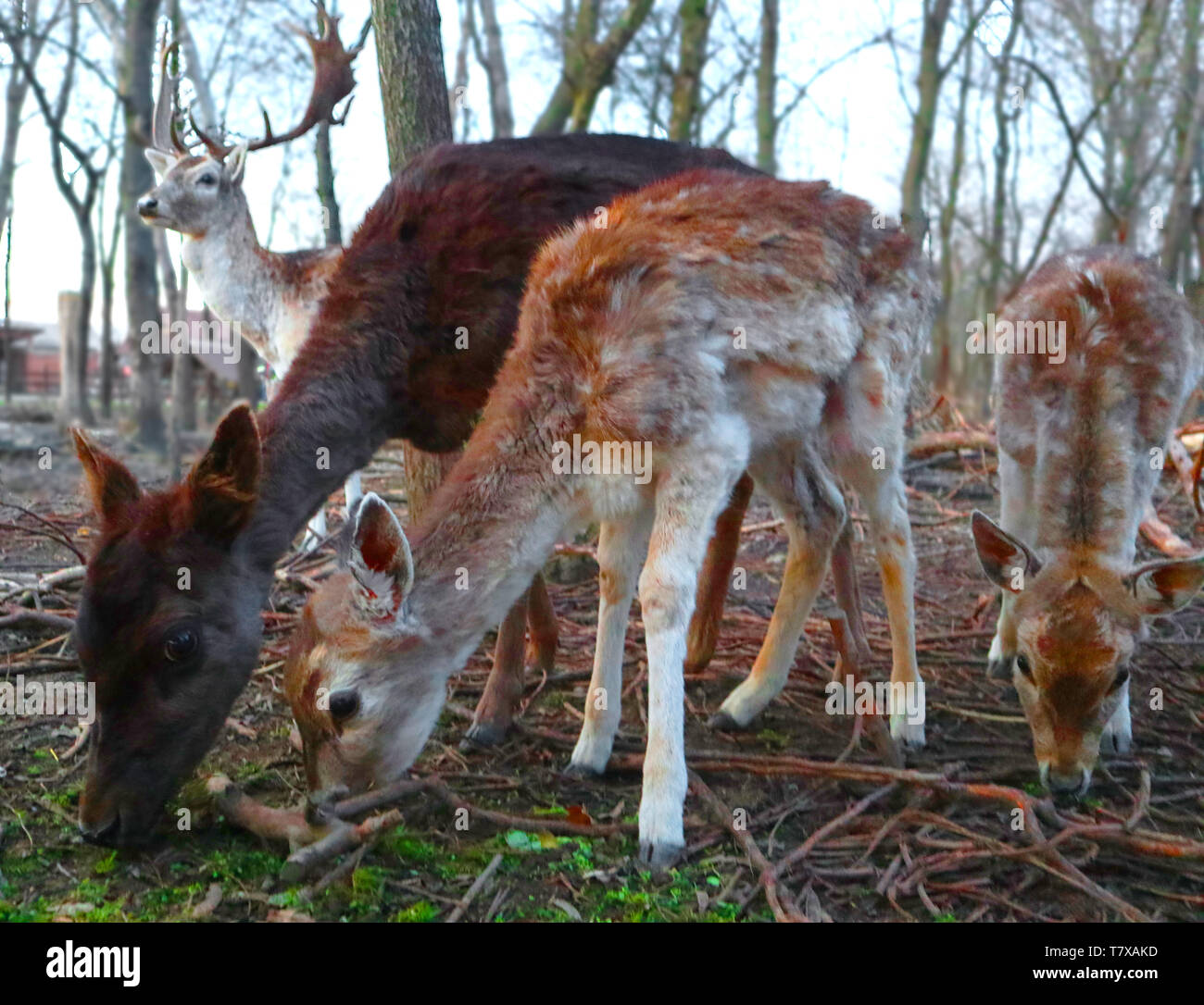 Real Bambi and his beautiful family - Stock Image