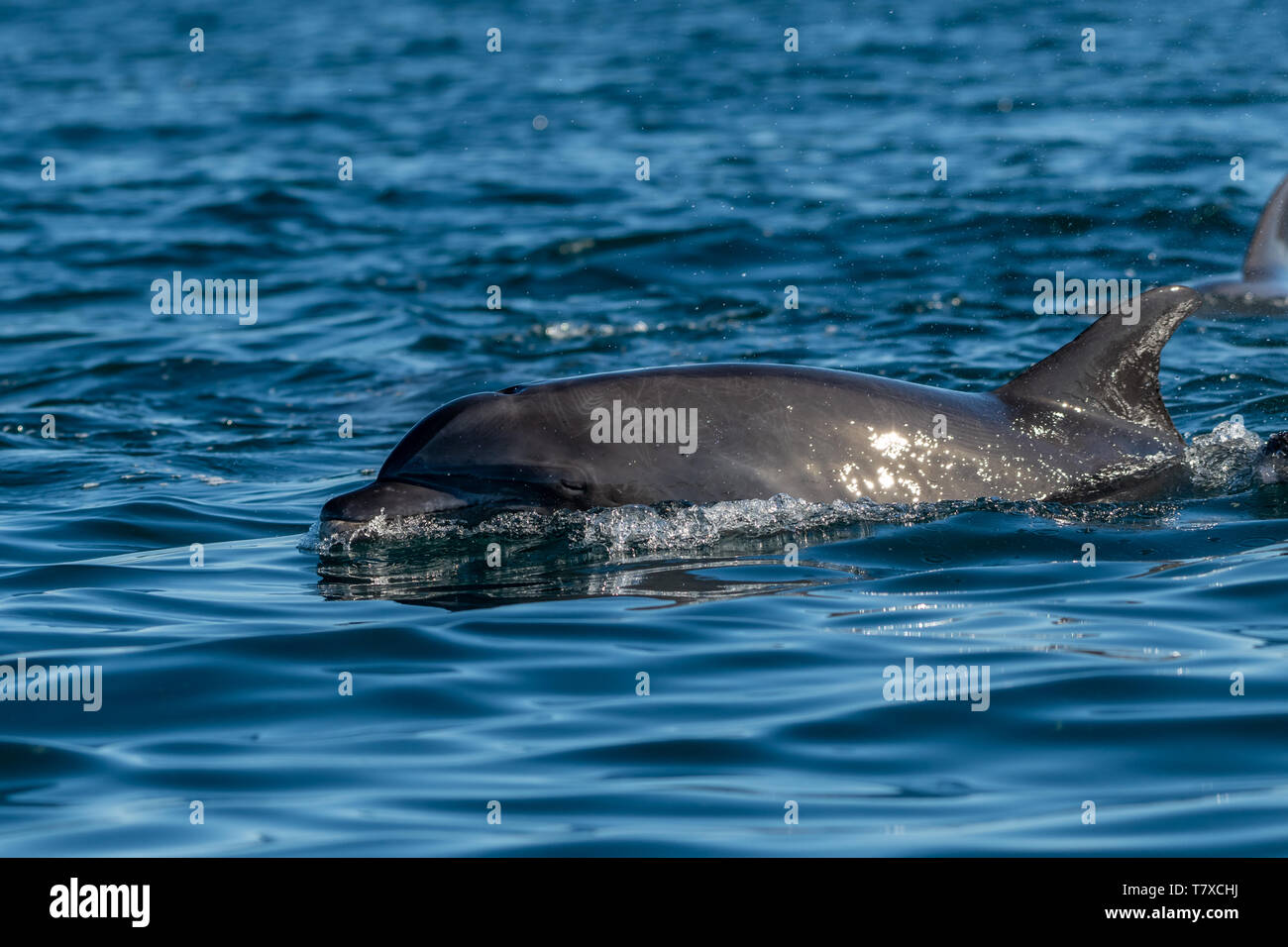 Bottlenose Dolphin (Tursiops truncatus) on the surface off the coast of Baja California, Mexico. Stock Photo