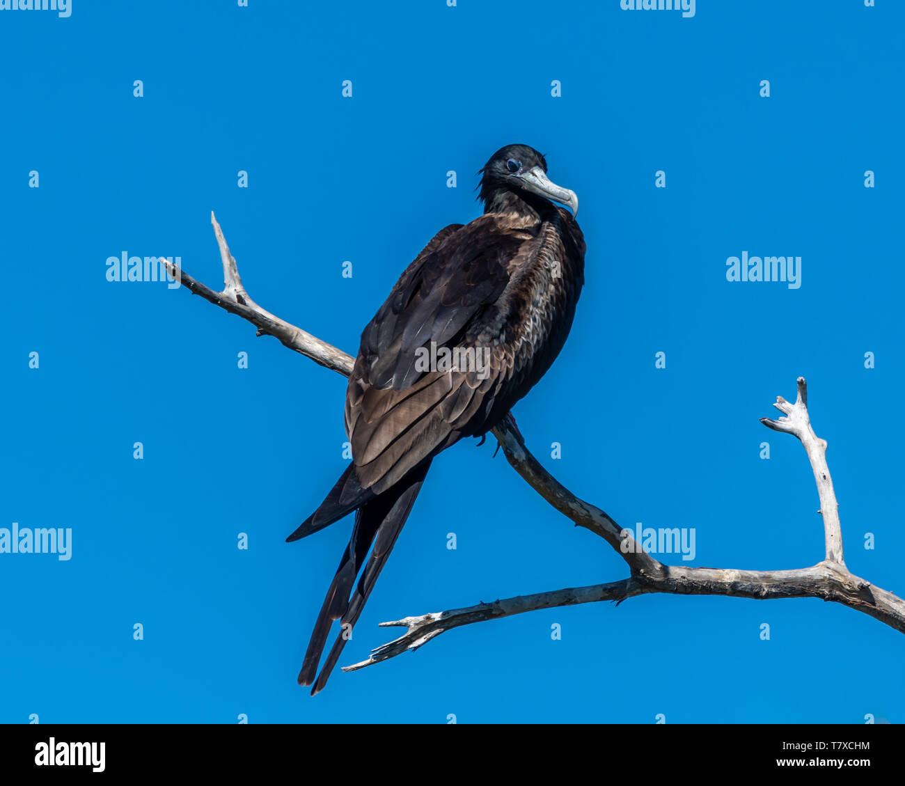 Adult male Magnificent frigatebird (fregata magnificens) perched on a dead branch in Baja California, Mexico. Stock Photo
