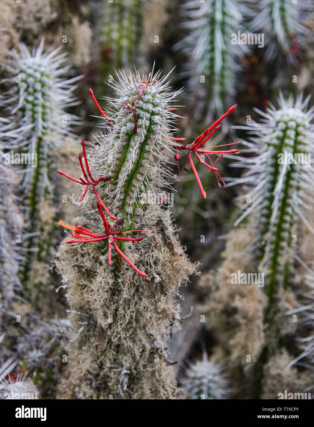 Flowering cacti (Eulychnia acida) growing on Isla Damas, Humboldt Penguin Reserve, Punta Choros, Chile Stock Photo