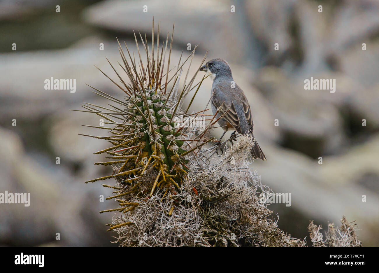 Andean sparrow (rufous-collared sparrow) on Isla Damas, Humboldt Penguin Reserve, Punta Choros, Chile Stock Photo