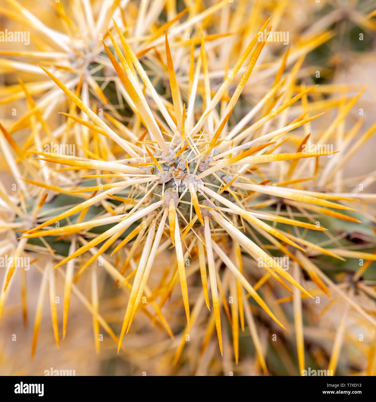 Jumping cholla (Cylindropuntia fulgida) cactus in the desert near Bahia de los Angeles,  Baja California Sur, Mexico. Stock Photo