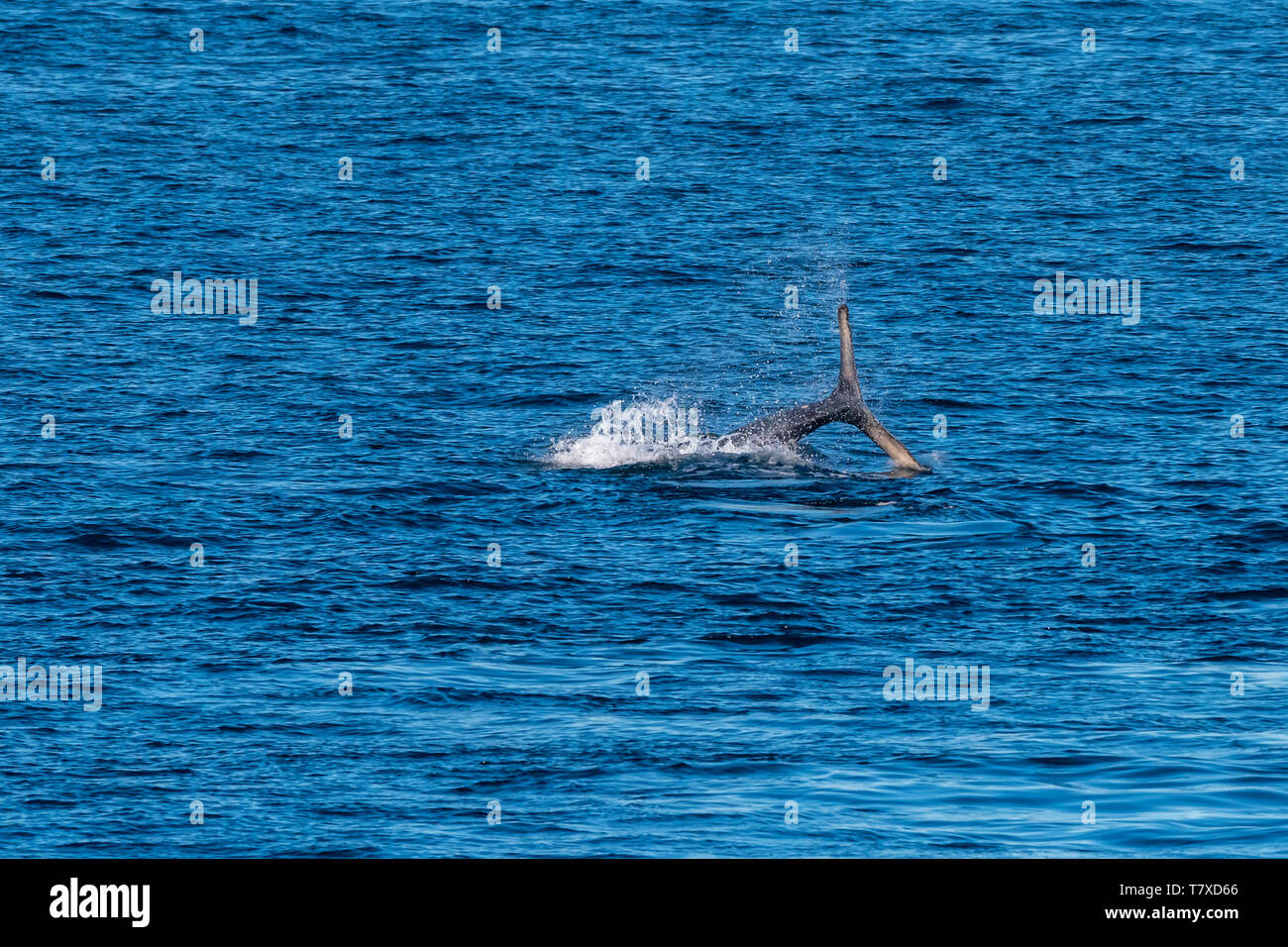 Humpback Whale (Megaptera novaeangliae) lobtailing (smacking surface of water with its tail flukes) off the coast of Baja California, Mexico. - Stock Image