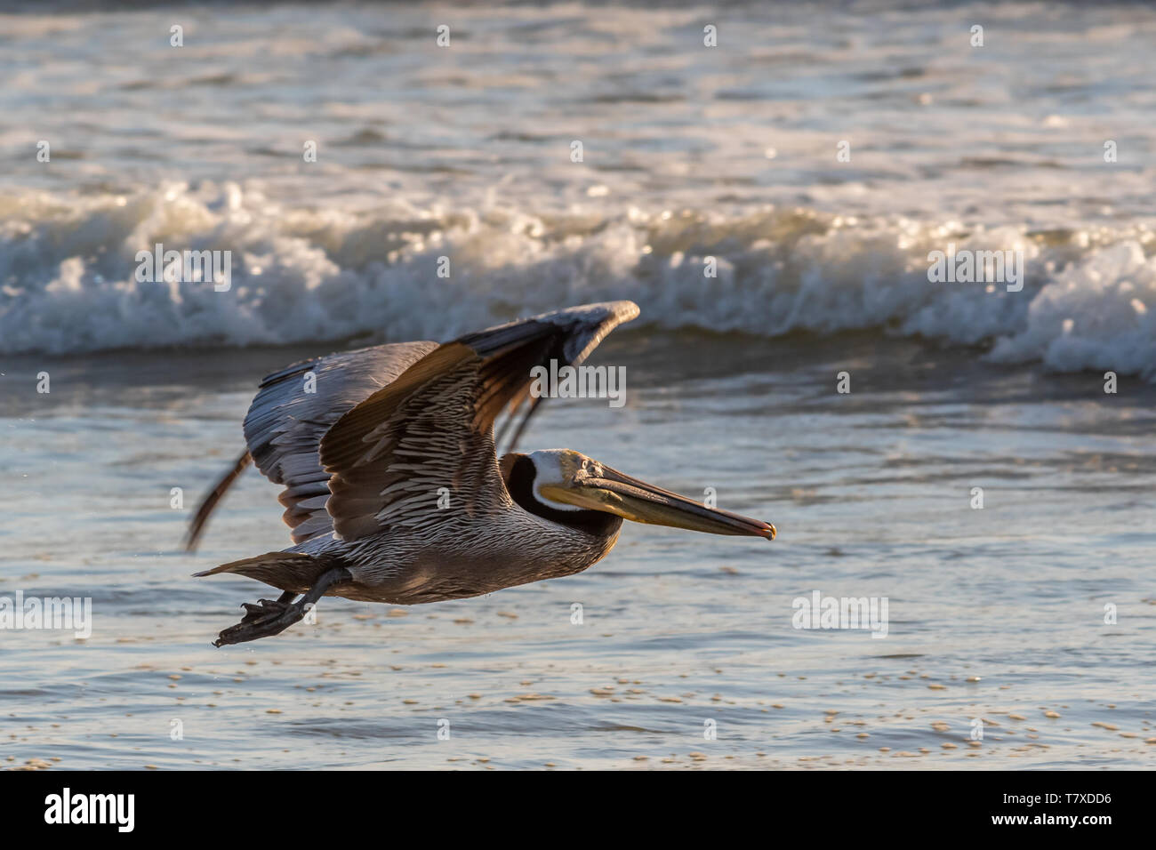 Brown pelican (Pelecanus occidentalis) flying low over a beach with waves breaking in background in Baja Californa Sur, Mexico. Stock Photo