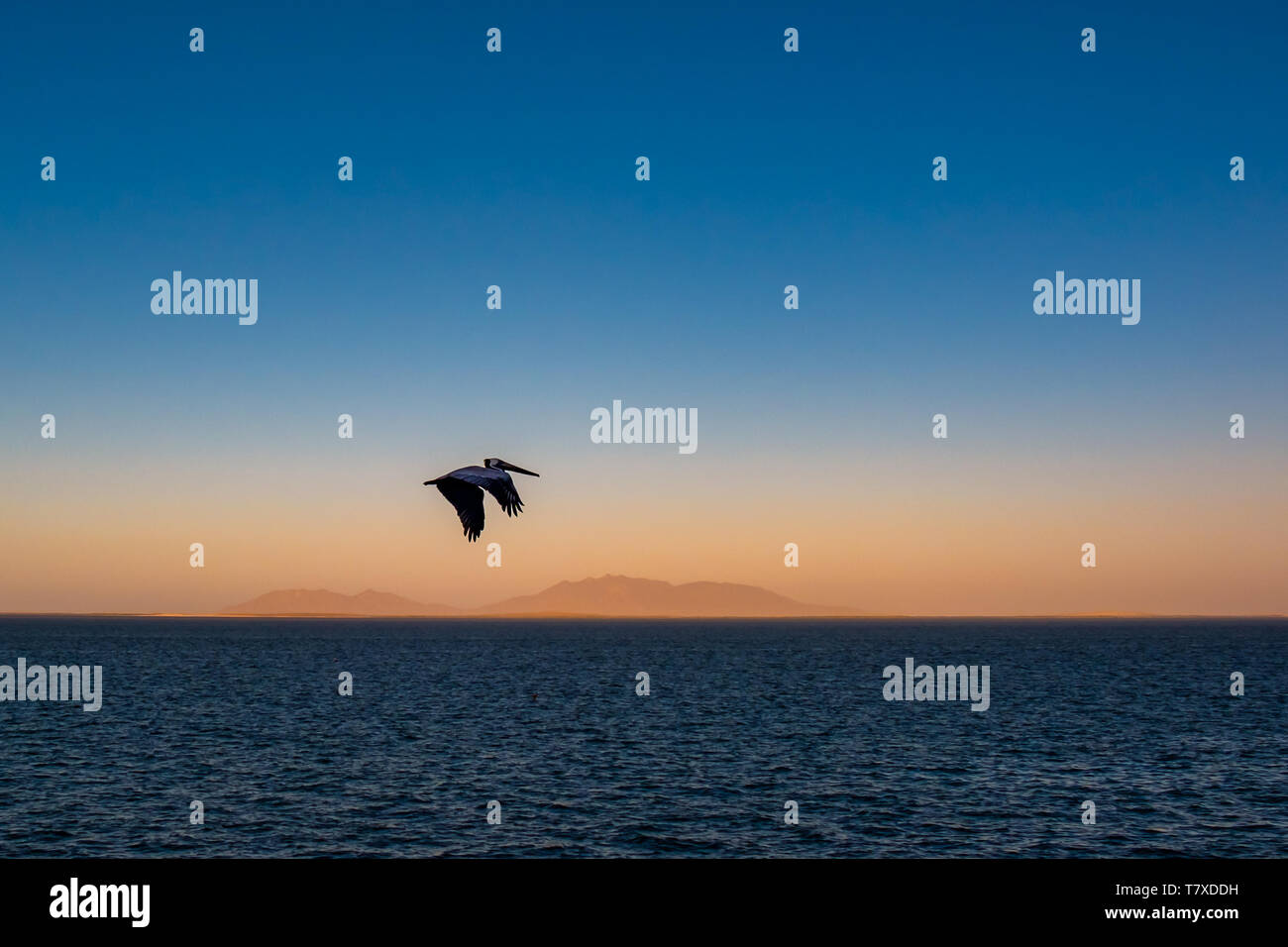 Brown pelican (Pelecanus occidentalis) in flight over the Pacific Ocean with mountains in haze at sunrise near Baja Californa Sur, Mexico. Stock Photo