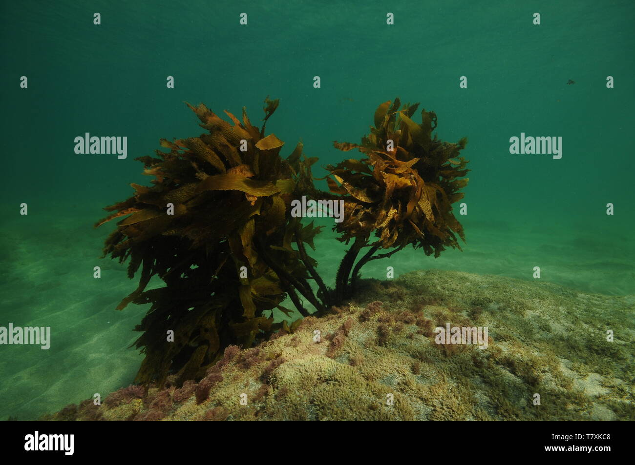 Lonely bush of brown seaweed Ecklonia radiata growing from flat rocky ledge. - Stock Image