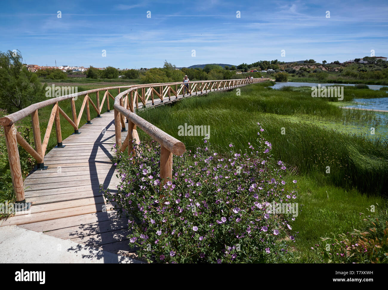 The curving wooden walkway with people on it over the Lagoon at Fuente de Piedra, with Grasses blowing in the wind and purple Wildflowers. Spain. Stock Photo