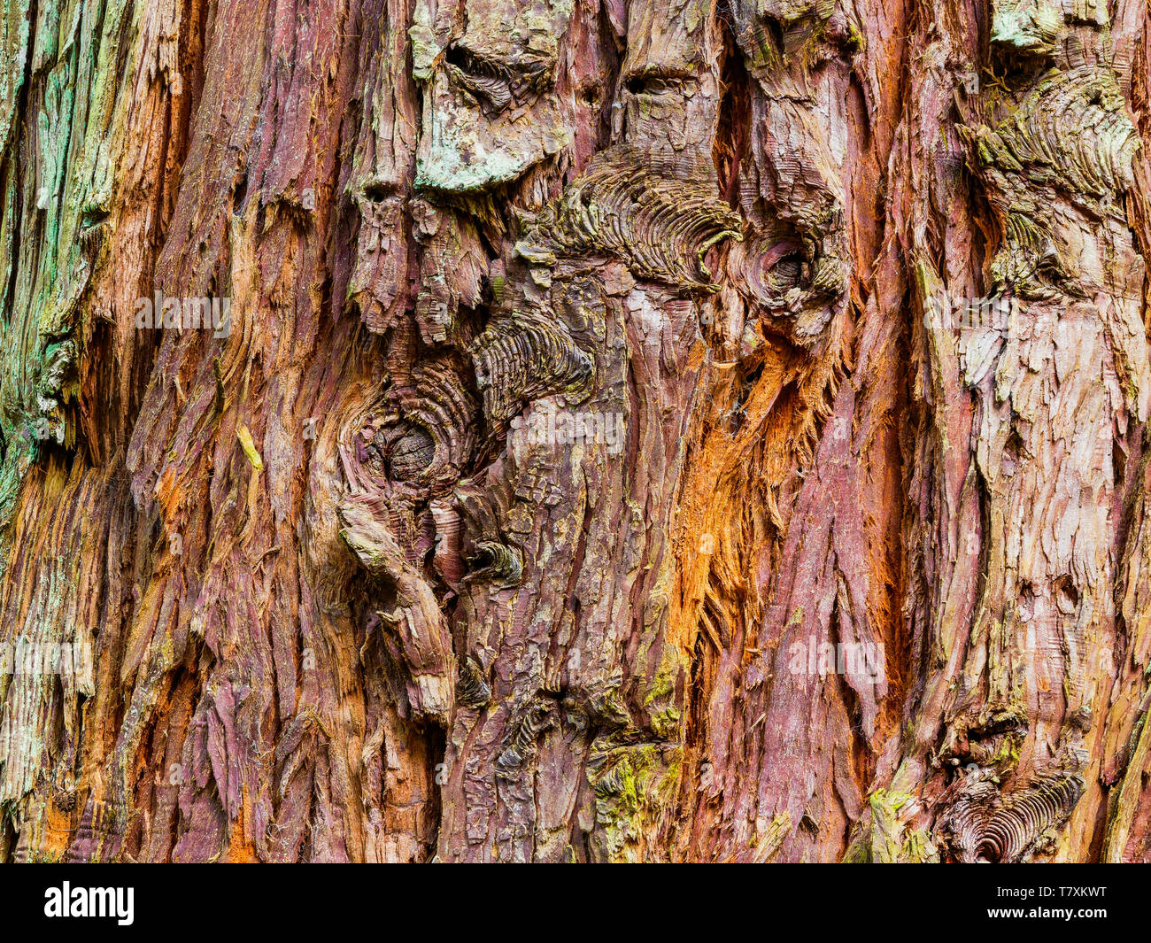 Close up of a piece of colourful peeling Douglas Fir bark with knots and splits Stock Photo