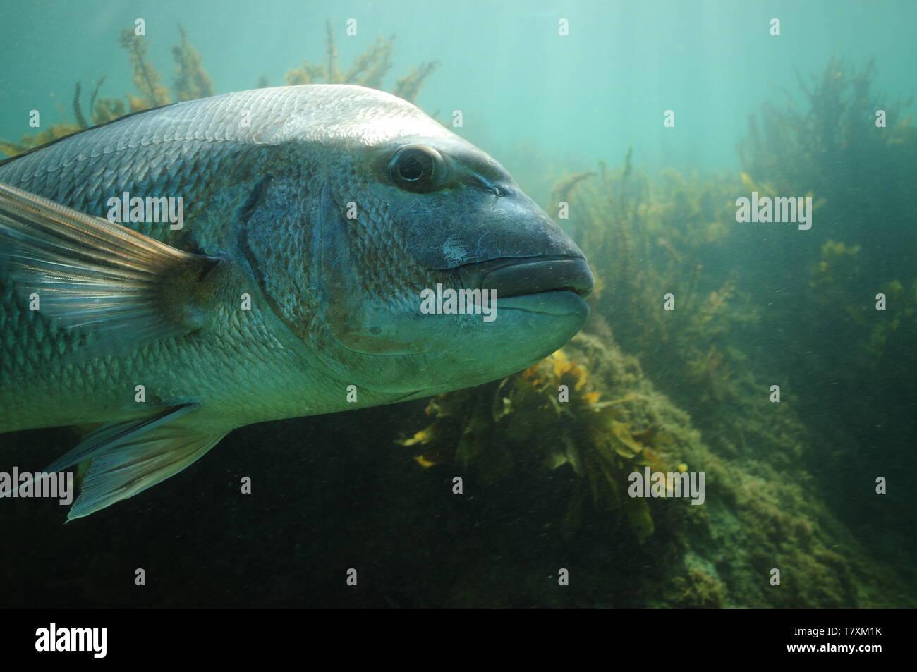 Side detail of large Australasian snapper Pagrus auratus. - Stock Image