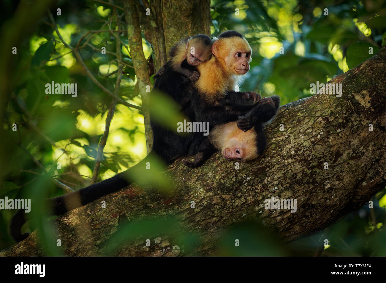 Colombian white-faced capuchin (Cebus capucinus), Colombian white-headed capuchin or Colombian white-throated capuchin, New World monkey of the family Stock Photo