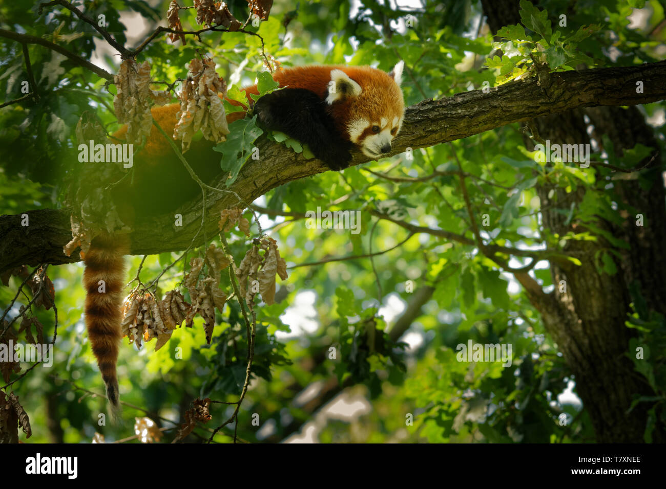 Red Panda - Ailurus fulgens laying on the branch in the forest. - Stock Image