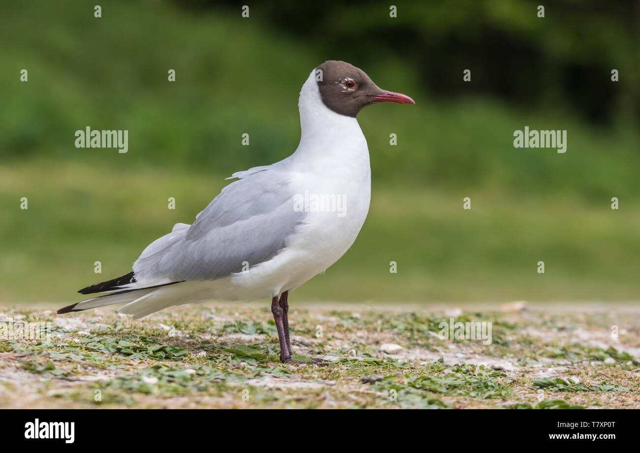 Adult Black Headed Gull (Chroicocephalus ridibundus) in breeding plumage standing on land in Spring in West Sussex, England, UK. Stock Photo