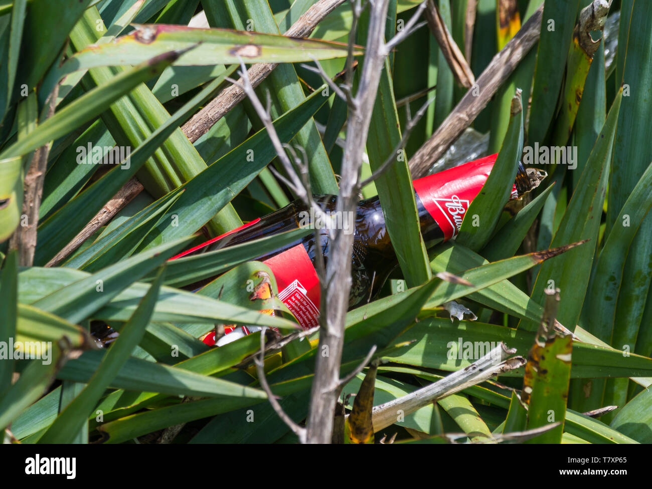 Discarded glass bottle laying in overgrowth on the ground after being thrown away, in the UK. - Stock Image