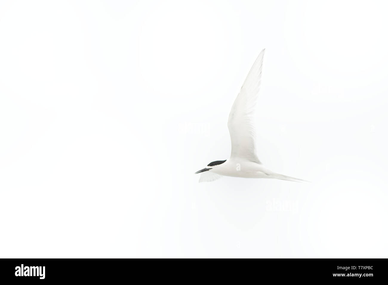 White-fronted Tern - Sterna striata  - tara in Maori language living in New Zealand, flying, hunting, mating - Stock Image