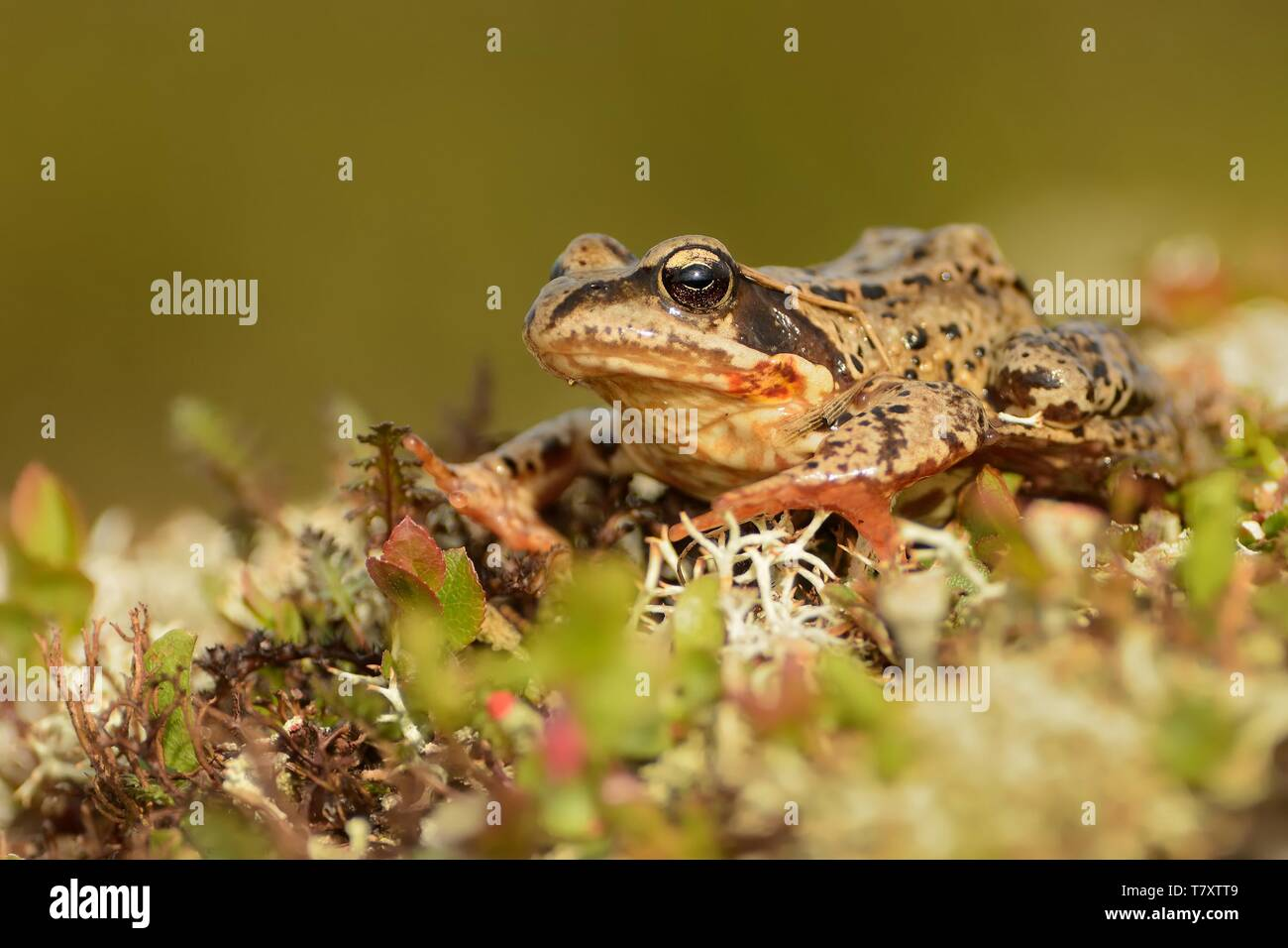 Grass Frog - Rana temporaria sitting on the grass. - Stock Image