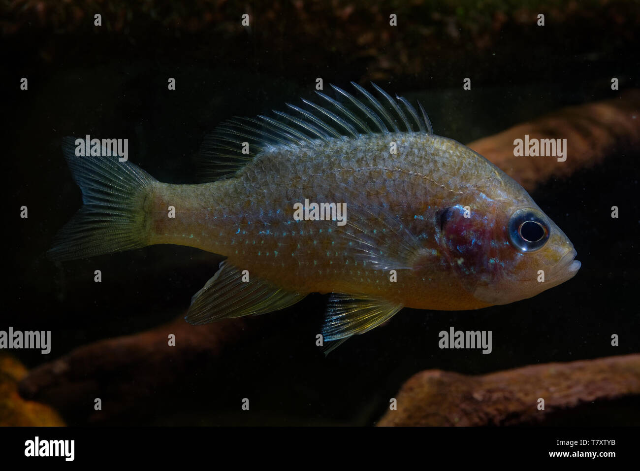 The pumpkinseed = Common Sunfish (Lepomis gibbosus) is a North American freshwater fish of the sunfish family (Centrarchidae). It is also referred to  Stock Photo