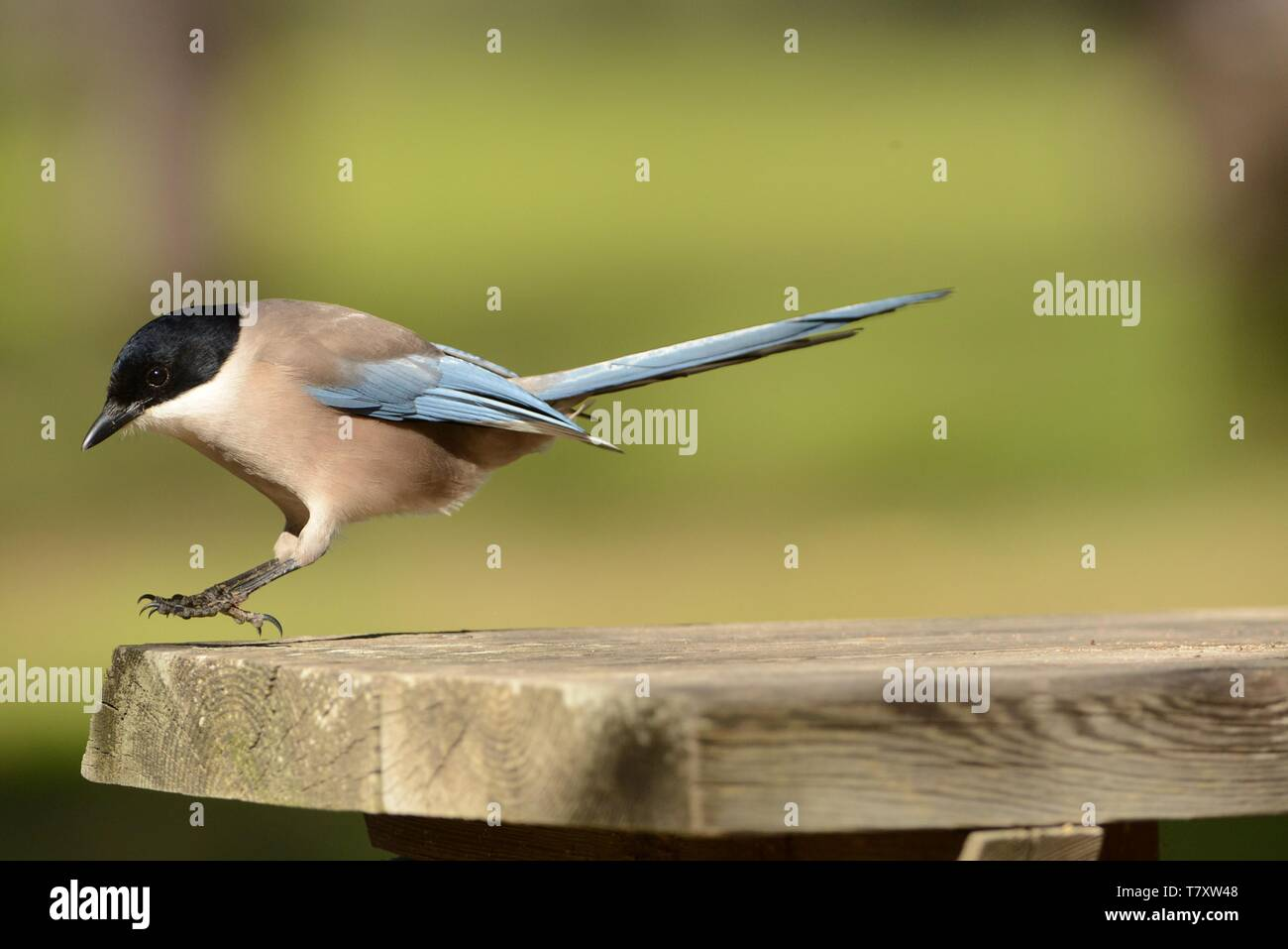 Azure-winged Magpie (Cyanopica cyanus) searching for the food. - Stock Image
