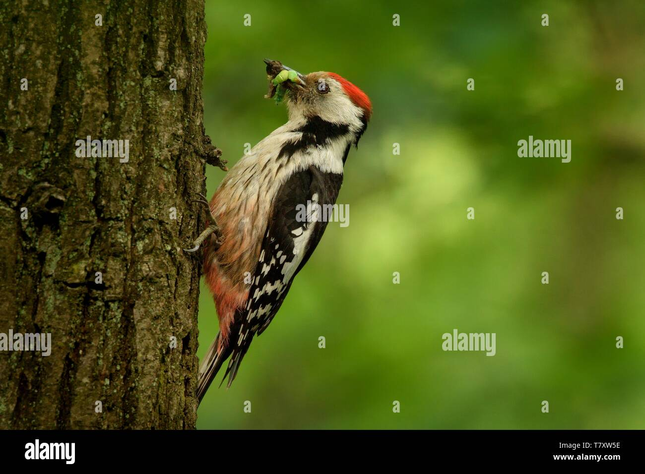 Middle Spotted Woodpecker - Dendrocopos medius sitting on the tree trunk with full beak of the feeding, green forest Stock Photo