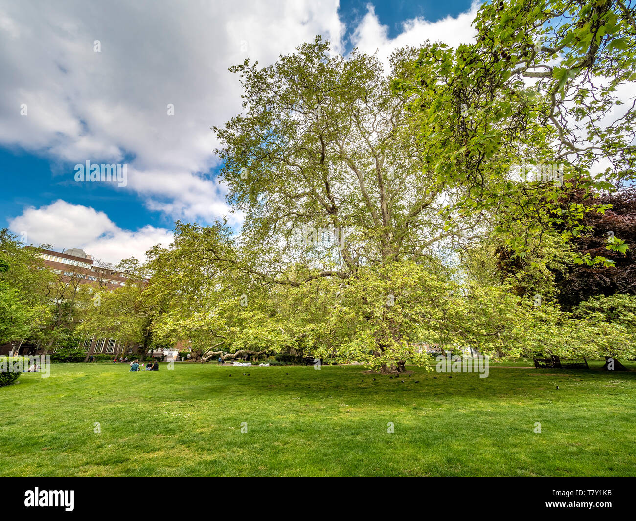 The Brunswick Plane (Platanus x acerifolia) is one of the original trees planted in Brunswick Square, Camden, by the Victorians. - Stock Image