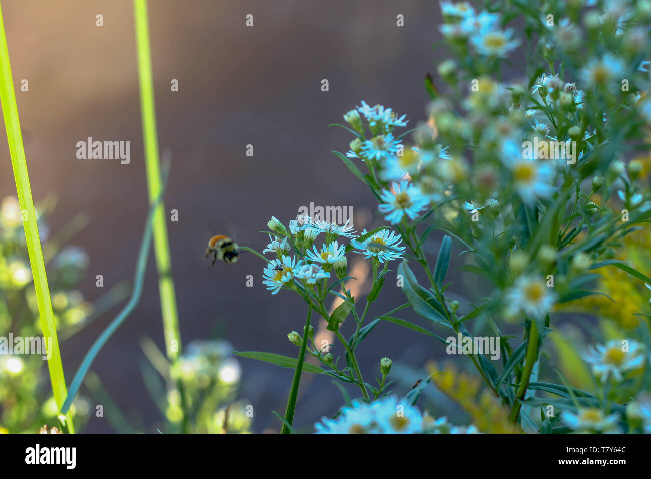 Bumble Bee and Flowers - Stock Image