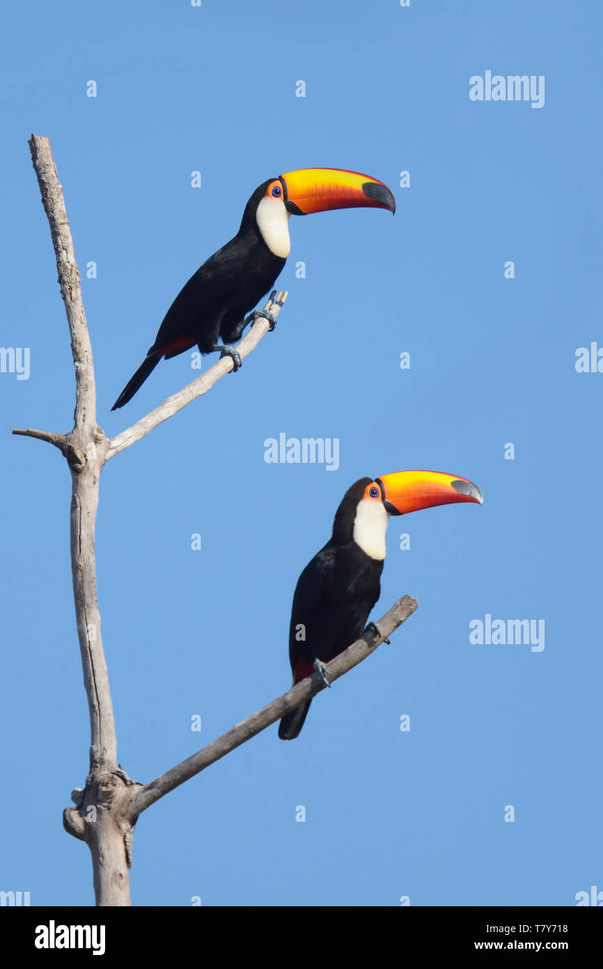 Pair of Toco Toucans (Ramphastos toco) in the Pantanal, Brazil Stock Photo