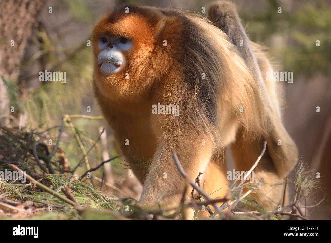 Male Golden Snub-nosed Monkey (Rhinopithecus roxellana) patrolling his territory in the chinese mountains - Stock Image