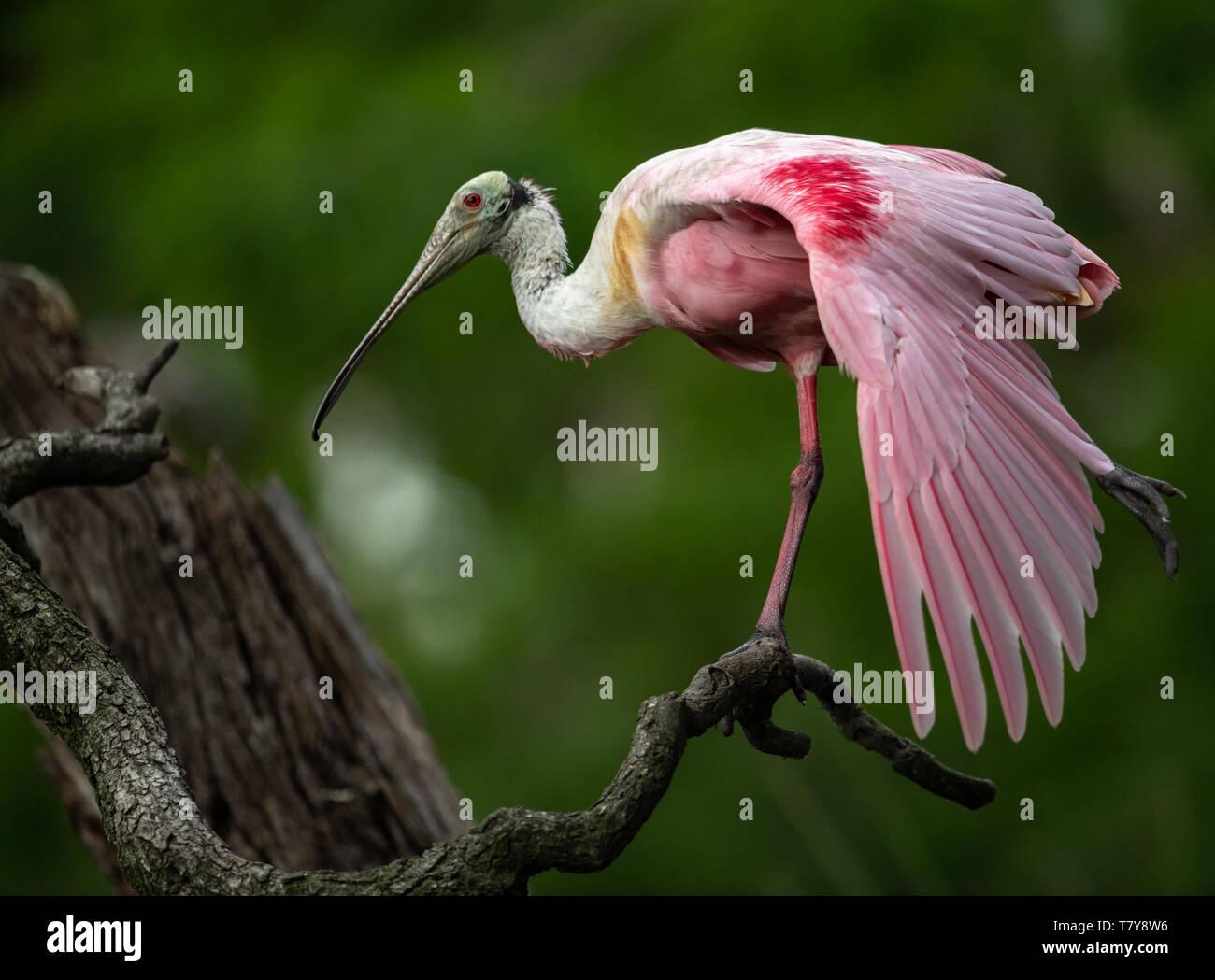 Roseate Spoonbill in Florida - Stock Image