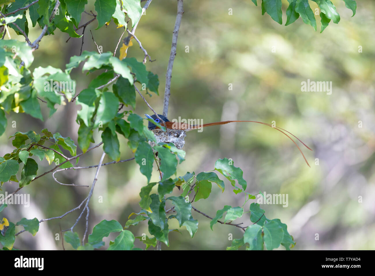 African Paradise Flycatcher (Terpsiphone viridis) male sitting on a nest. Popa Falls, Namibia. Stock Photo