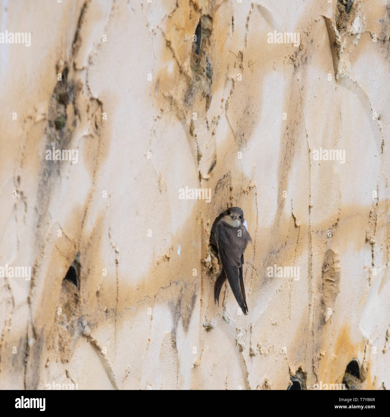 Sand martin (Riparia riparia) bird at its nest hole in an artificial nesting bank or wall, Blashford Lakes nature reserve in Hampshire, UK - Stock Image