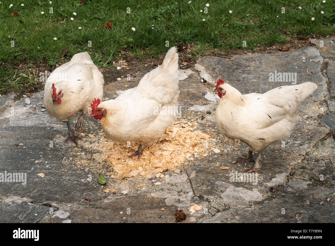 Chickens Eating Stock Photos & Chickens Eating Stock Images