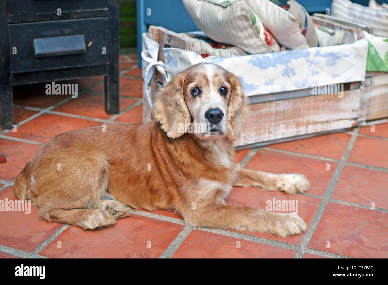 Old cocker spaniel resting - Stock Image