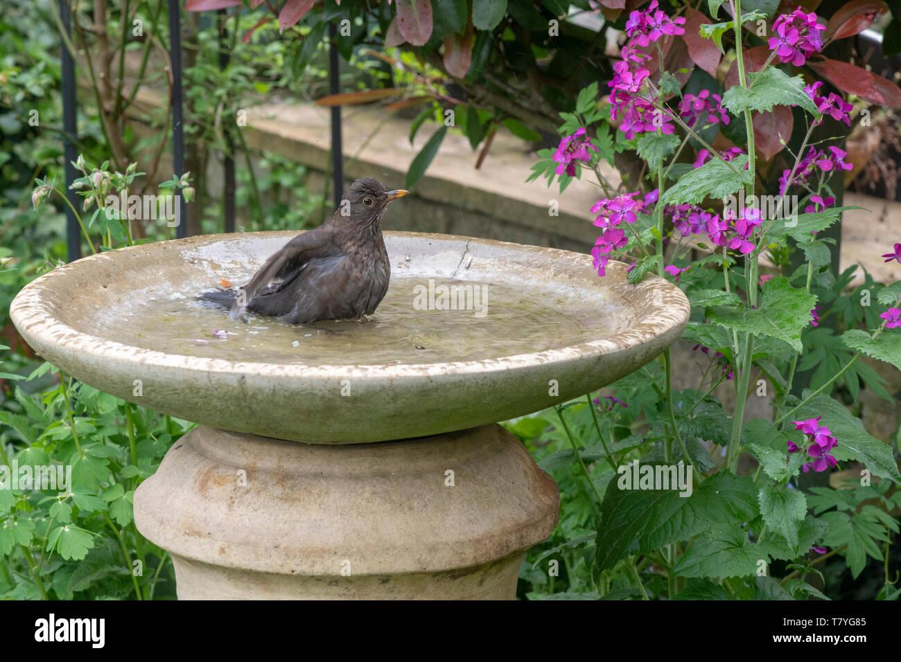 Turdus merula . Female blackbird washing in a bird bath in an english garden. UK - Stock Image