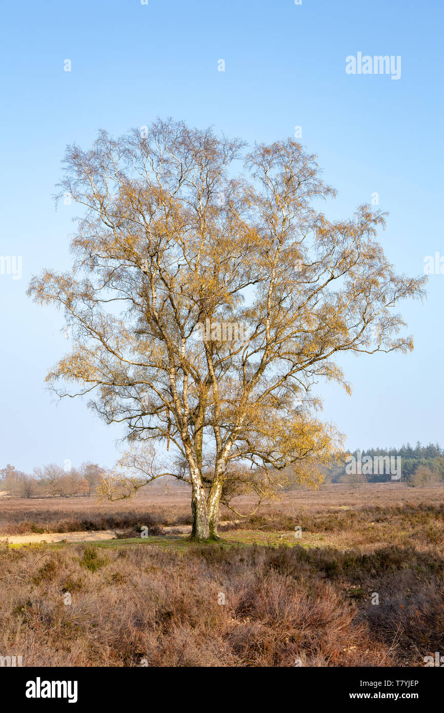 Silver birch, warty birch, European white birch or East Asian white birch - Betula pendula - against a blue sky in early spring. - Stock Image