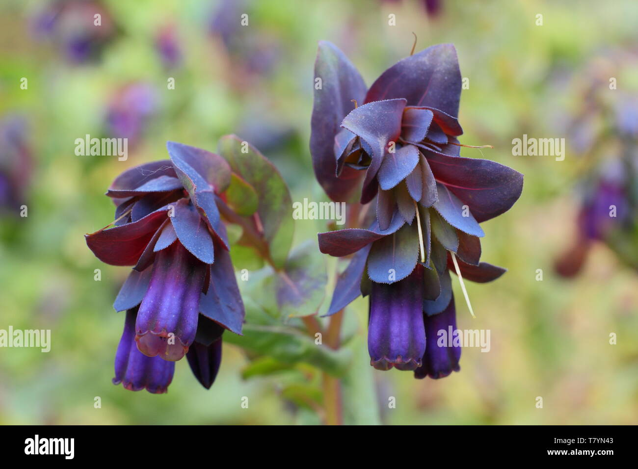 Cerinthe major var. 'Purpurascens'.  Nodding purple bells of bee friendly honeywort in mid spring - Stock Image