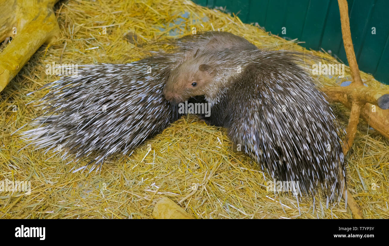 Family of porcupine - Stock Image