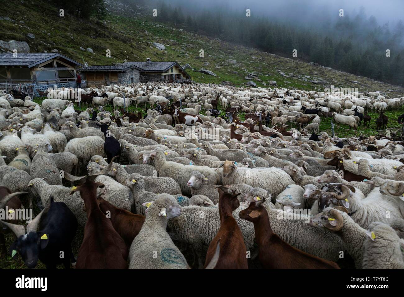 France, Haute Savoie, Chamonix Mont Blanc, village of Argentiere, mountain range of Mont Blanc, Jean-Luc Pitrat, sheperd, mountain pasture of the Pendant, sorting of the herd - Stock Image