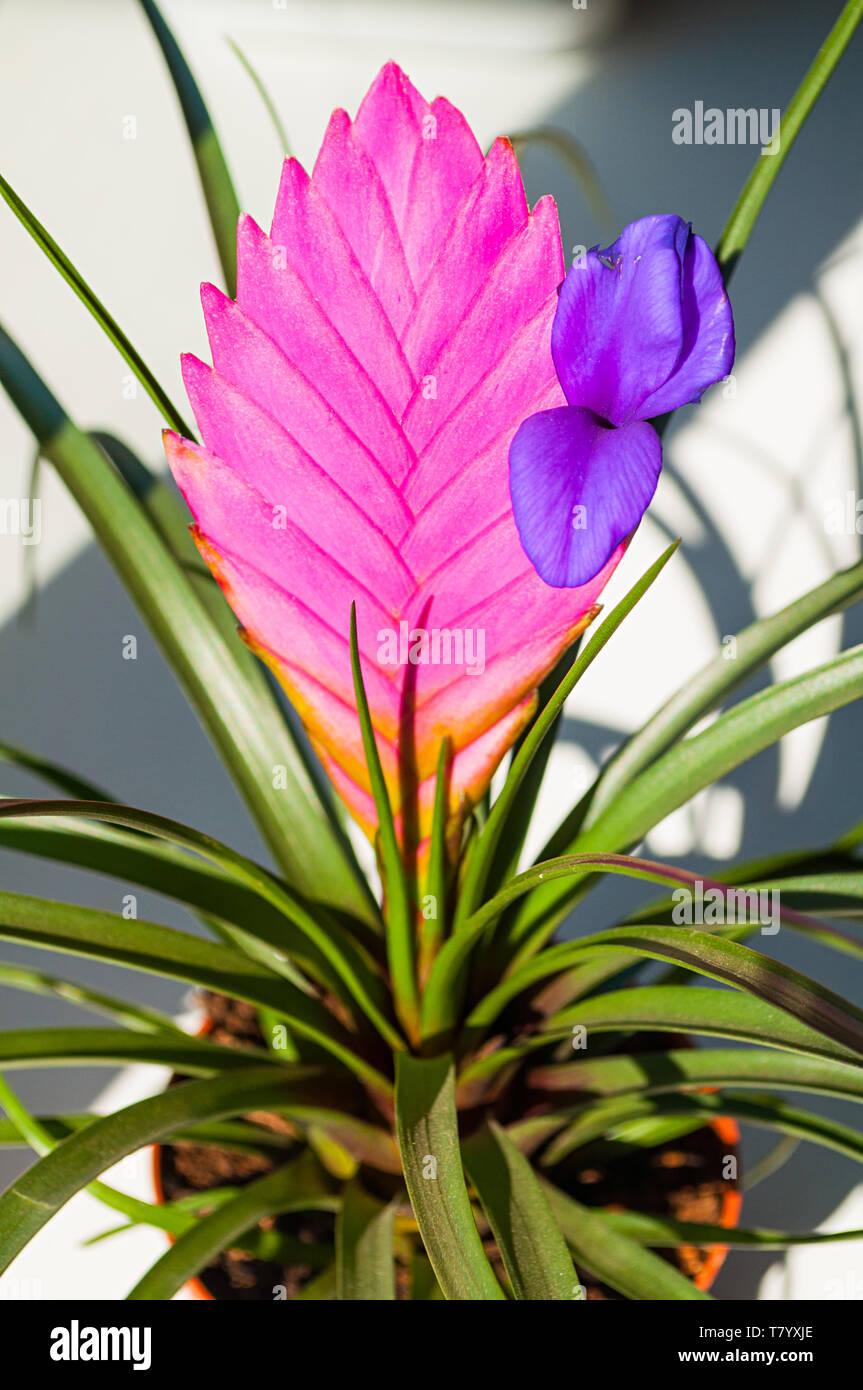 Tillandsia Cyanea Anita Pink Peduncle And Purple Flower
