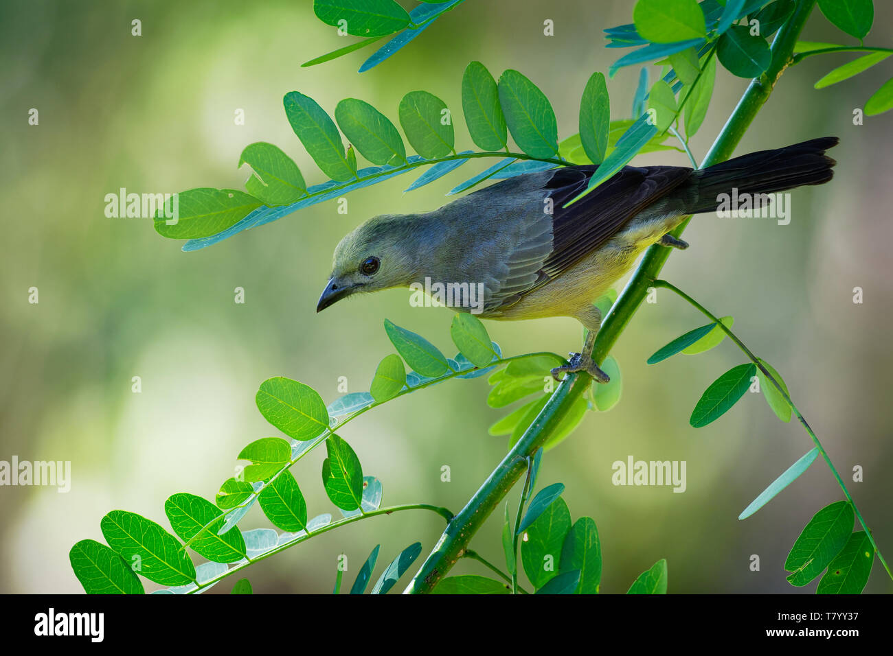 Palm Tanager - Tangara palmarum is medium-sized passerine bird, resident breeder from Nicaragua south to Bolivia, Paraguay and southern Brazil. It als - Stock Image