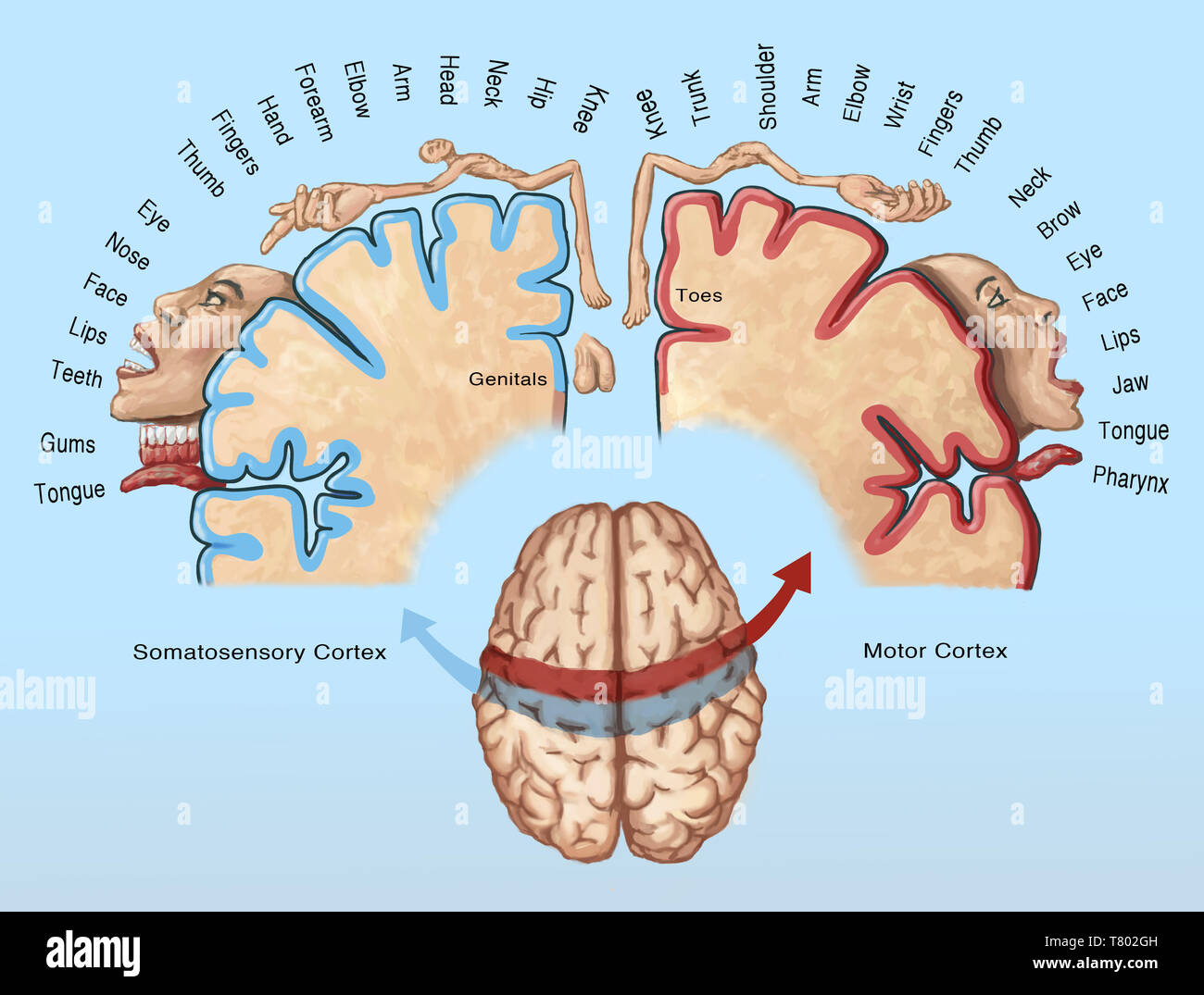Cortical Homunculus Illustration - Stock Image