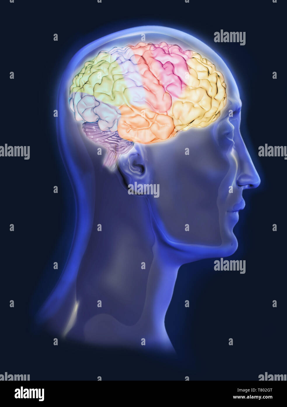 Brain, Illustration - Stock Image