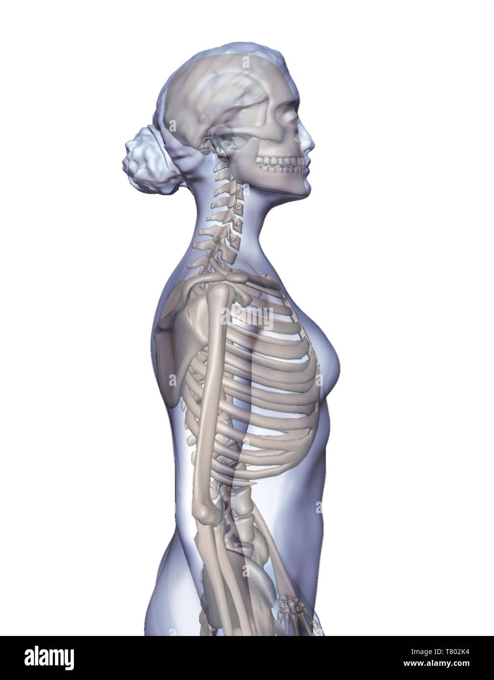 Female Skeletal System, Illustration - Stock Image