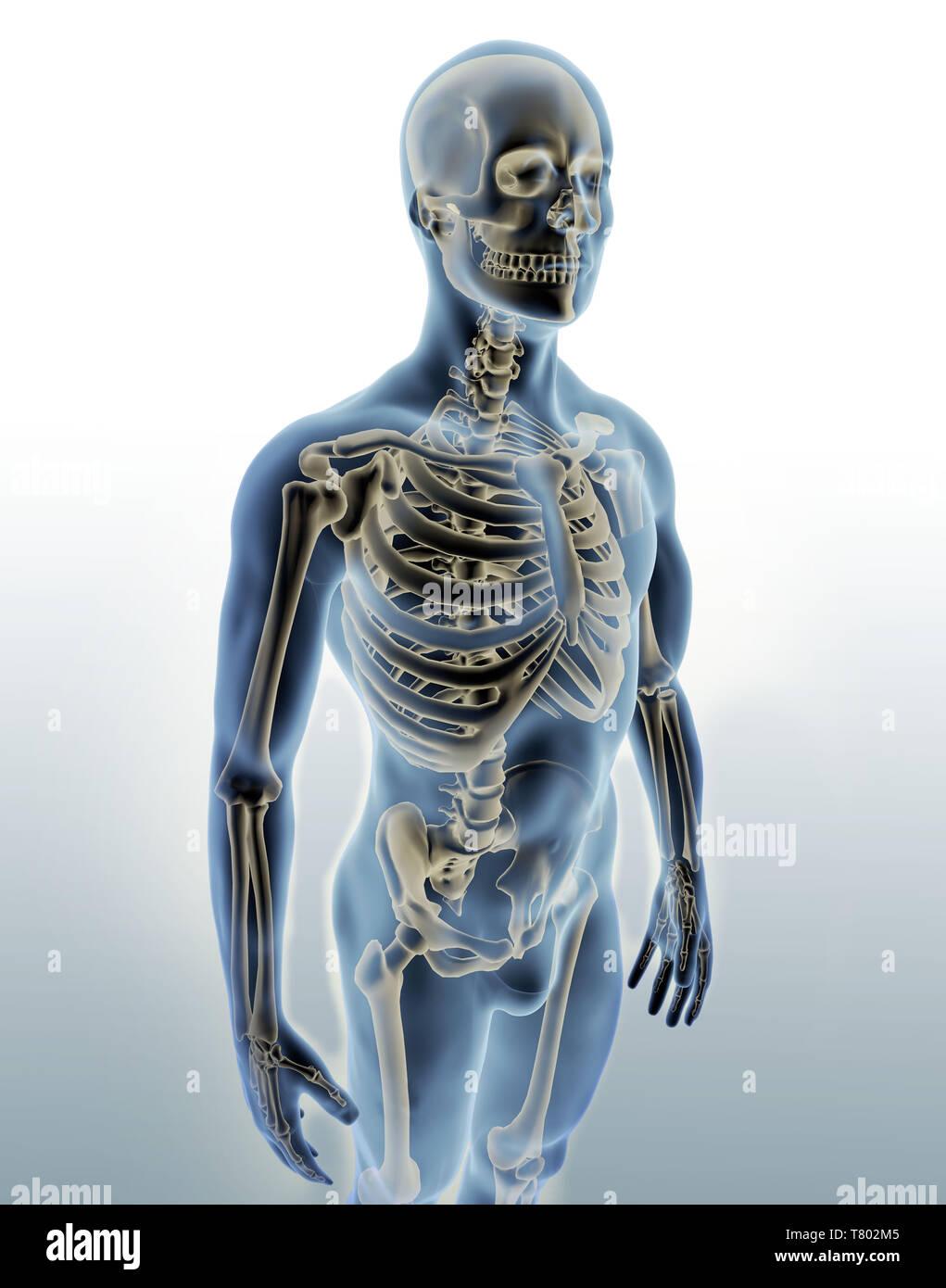 Man with Visible Skeleton, Illustration - Stock Image